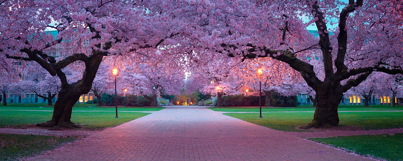 Passage Under Cherry Blossom